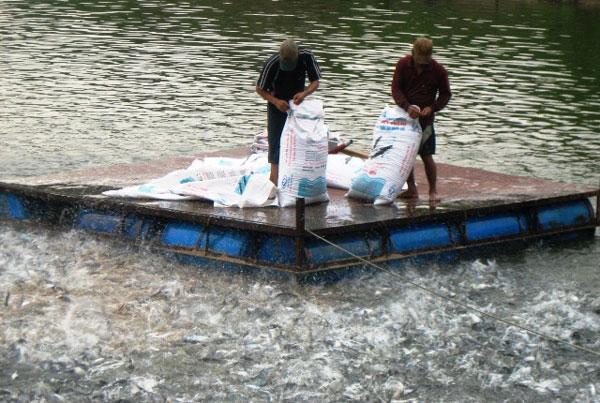 Kỷ lục: Giá cá tra lên tới 30.000 đồng/kg, nông dân lãi khá - 2