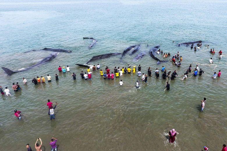 Hành động của dân Indonesia khi thấy 10 cá voi khổng lồ dạt bờ - 1