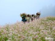 Sắp diễn ra lễ hội hoa tam giác mạch 2017