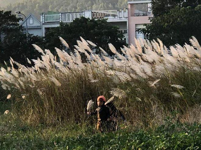 Du khách mê mẩn với hoa lau nở trắng Sơn Trà - 14