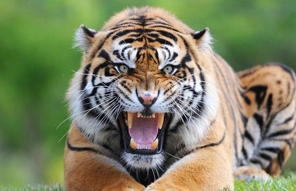 Hổ và sư tử gặp nhau: Cuộc chiến khủng khiếp của 2 chúa tể - 4