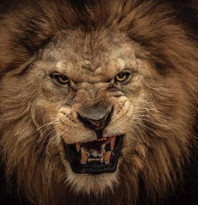 Hổ và sư tử gặp nhau: Cuộc chiến khủng khiếp của 2 chúa tể - 2