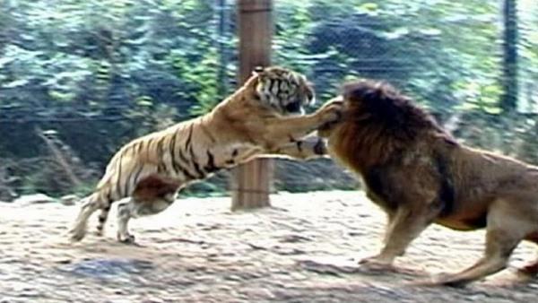 Hổ và sư tử gặp nhau: Cuộc chiến khủng khiếp của 2 chúa tể - 3