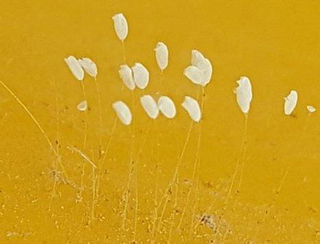 Phát hiện sinh vật nghi hoa Ưu Đàm ở đường lên Tây Thiên - Tam Đảo - 2