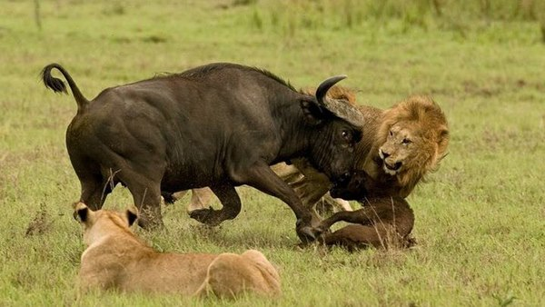 Điều gì xảy ra khi sư tử tấn công trâu rừng nặng 1 tấn? - 2