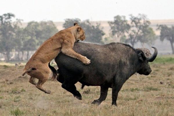 Điều gì xảy ra khi sư tử tấn công trâu rừng nặng 1 tấn? - 3