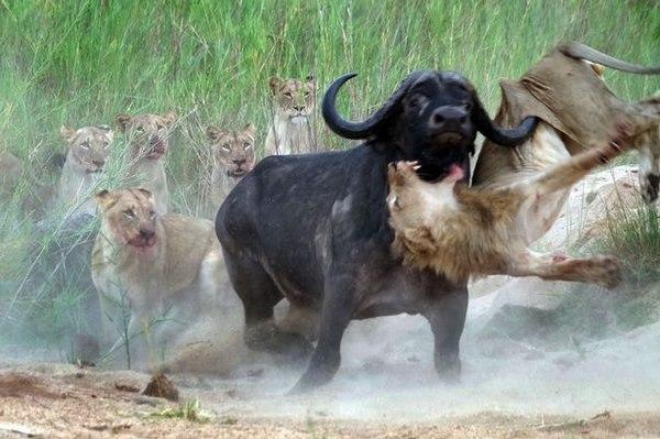 Điều gì xảy ra khi sư tử tấn công trâu rừng nặng 1 tấn? - 4
