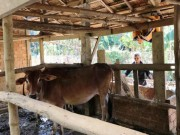""""""" Quan """"  xã tự ý thu tiền bò giống cấp miễn phí cho dân vùng rốn lũ"""