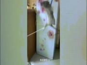Chuột bị trói tứ chi, quật lia lịa để tra khảo tội ăn vụng