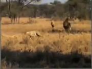 Báo săn châu Phi đụng độ sư tử đực hung dữ, kết cục bi thảm