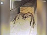 """Đang rửa bát, giật mình thấy nhện khổng lồ """"đánh răng"""""""