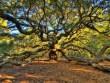 """Sức sống mãnh liệt của cây sồi """"thiên thần"""" 450 tuổi ở Mỹ"""