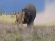 """Sư tử """"bá chủ châu Phi"""" bị con vật này đánh cho nhừ đòn"""