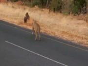 Video: Sư tử vồ lợn từ phía sau, cắn xé moi ruột giữa đường
