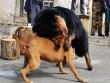 TQ: Sự thảm hại của những chú chó ngao Tây Tạng triệu đô một thời