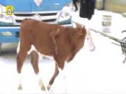 Kì lạ bò mọc chân lủng lẳng trên lưng