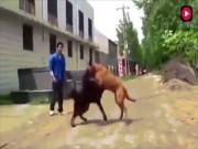 """Xem chó ngao Tây Tạng thư hùng với """"bá chủ chó chọi"""" pitbull"""