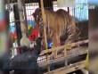 Cái kết của người thò tay vào chuồng cho hổ ăn ở TQ