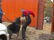 """Giống chó có """"cú cắn sư tử"""" mạnh hơn cả chó ngao Tây Tạng"""
