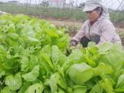 Clip: Rau xanh mơn mởn giá chỉ còn 1.000 đ/kg, dân nhổ cho... bò ăn