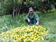 Thị trường - Tiêu dùng - Làm giàu ở nông thôn: Lãi 700 triệu/năm từ quýt đặc sản