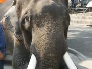 Thái Lan: Voi 5 tấn giết chết chủ bằng cách đáng sợ