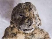 Phát hiện bất ngờ về xác ướp sư tử 55.000 năm tuổi ở Siberia