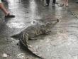 Sự thật về vụ cá sấu lên bờ  làm loạn  chợ Túy Loan