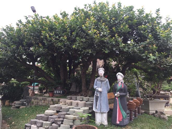 """Ngắm """"siêu cây"""" trâm vối 500 năm tuổi """"có một không hai"""" ở Việt Nam - 1"""