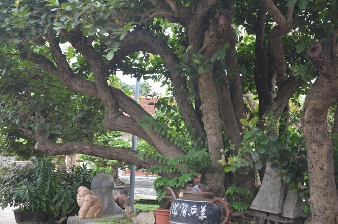 """Ngắm """"siêu cây"""" trâm vối 500 năm tuổi """"có một không hai"""" ở Việt Nam - 3"""