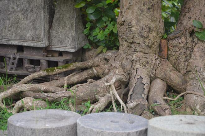 """Ngắm """"siêu cây"""" trâm vối 500 năm tuổi """"có một không hai"""" ở Việt Nam - 5"""