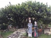 Ngắm  siêu cây  trâm vối 500 năm tuổi  có một không hai  ở Việt Nam