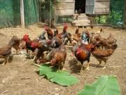 Thị trường - Tiêu dùng - Giá gà ta tăng vọt, nuôi 1.000 con lãi 17 triệu chỉ sau 3 tháng