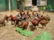 Giá gà ta tăng vọt, nuôi 1.000 con lãi 17 triệu chỉ sau 3 tháng