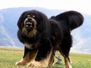 Chó ngao Tây Tạng tuột xích, tấn công kinh hoàng bé trai TQ
