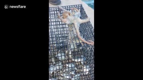 Video: Bạch tuộc thông minh thò vòi vào bẫy trộm cá của ngư dân - 1