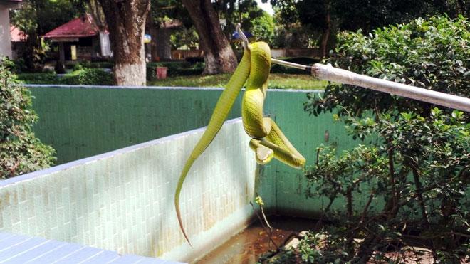 Vứt con rắn lục đuôi đỏ hôm trước, hôm sau rắn tiếp tục bò vào nhà - 4