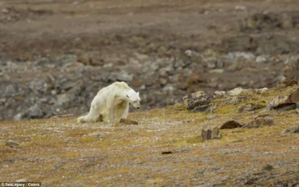 Gấu Bắc Cực hốc hác, lê lết đi tìm đồ ăn trong vô vọng - 1