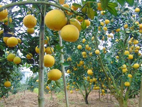 Làm giàu ở nông thôn: Phát tài với vườn bưởi Diễn 40.000 quả - 2