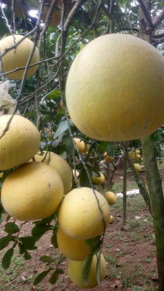 Làm giàu ở nông thôn: Phát tài với vườn bưởi Diễn 40.000 quả - 4