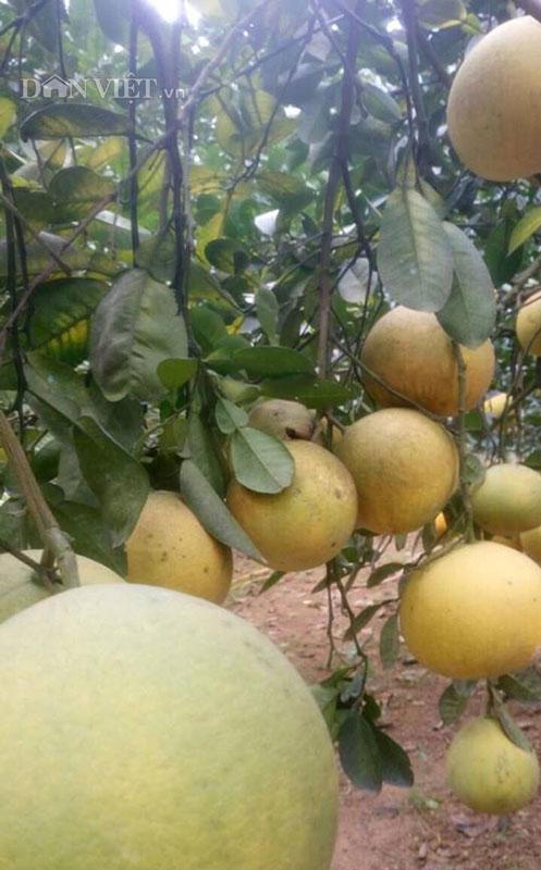 Làm giàu ở nông thôn: Phát tài với vườn bưởi Diễn 40.000 quả - 5