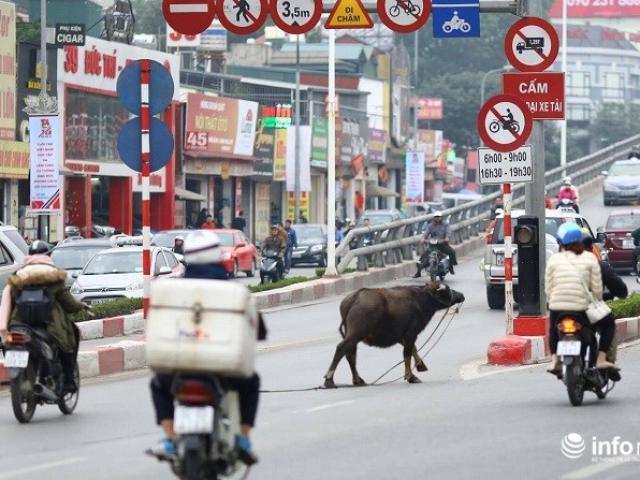 Đề xuất làm đường hầm cho… trâu bò qua quốc lộ - 3