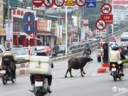 Hà Nội: Trâu điên húc người náo loạn trên phố