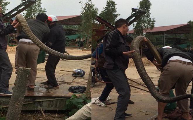 """Người dân vây bắt rắn """"khủng"""" nặng gần 20kg ở Vĩnh Phúc - 2"""