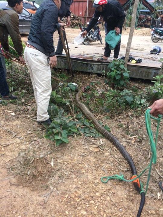"""Người dân vây bắt rắn """"khủng"""" nặng gần 20kg ở Vĩnh Phúc - 1"""