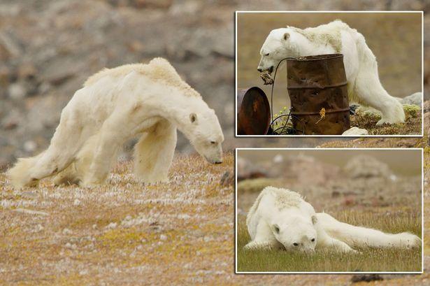 Gấu Bắc cực teo tóp thảm hại lết đi kiếm ăn: Sao không ai cứu? - 2