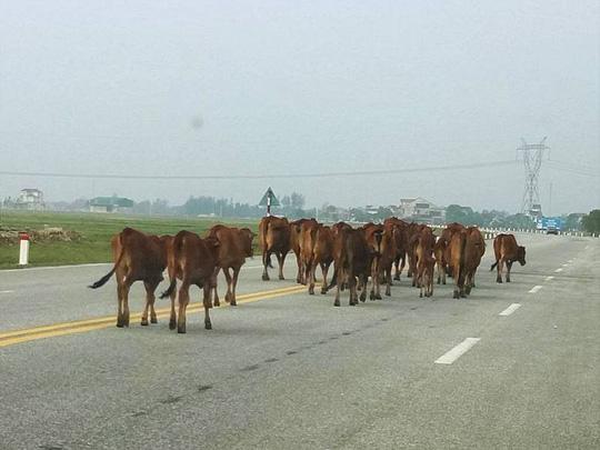 Đề xuất làm đường hầm cho… trâu bò qua quốc lộ - 1