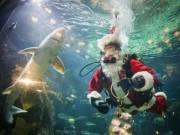 Canada: Hút khách bằng ông già Noel trong bể cá