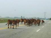 Đề xuất làm đường hầm cho… trâu bò qua quốc lộ