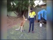"""Ngứa mắt với người, Kangaroo lao vào tung  """" liên hoàn cước """""""